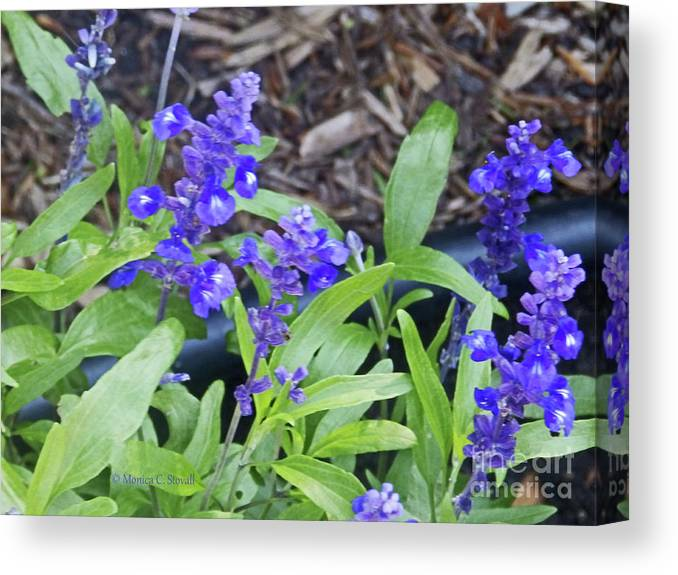 Blue Flowers Canvas Print featuring the photograph Blue Flower B6 by Monica C Stovall