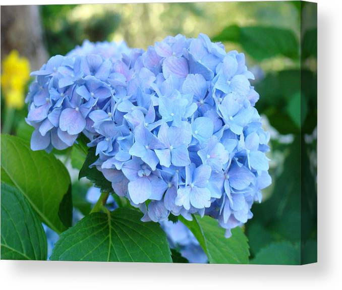 Hydrangea Canvas Print featuring the photograph Blue Hydrangea Flowers Art Botanical Nature Garden Prints by Baslee Troutman
