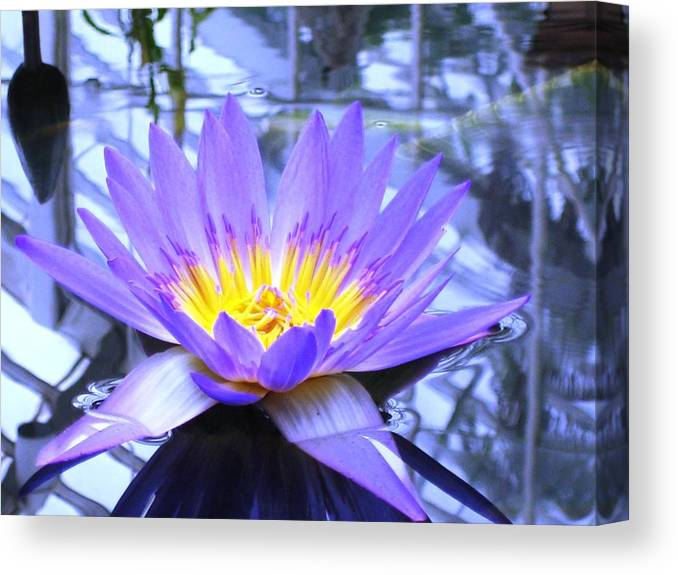 Blue Lotus Canvas Print featuring the photograph Blue Lotus by Ward Smith