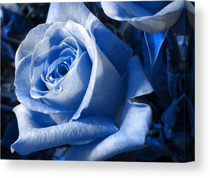 Blue Canvas Print featuring the photograph Blue Rose by Shelley Jones