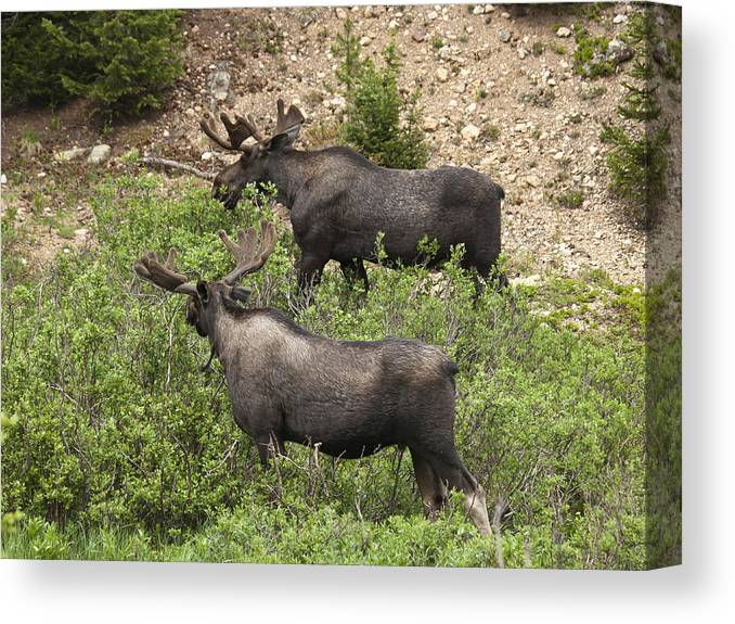 Bull Moose Canvas Print featuring the photograph Buddies Until The Rut by Theo Bauder