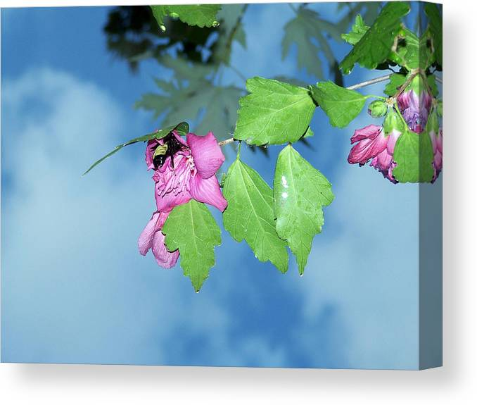 Bumble Bee Canvas Print featuring the photograph Bumble Bee by Evelyn Patrick
