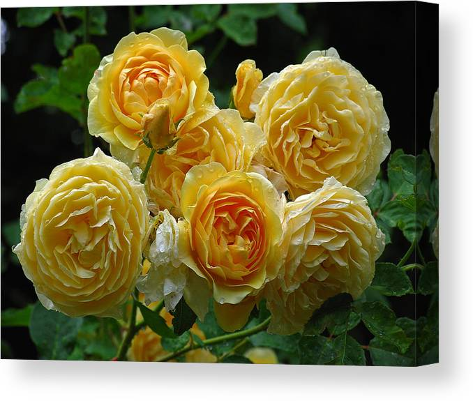 Rose Canvas Print featuring the photograph Bundle Of Joy by Juergen Roth