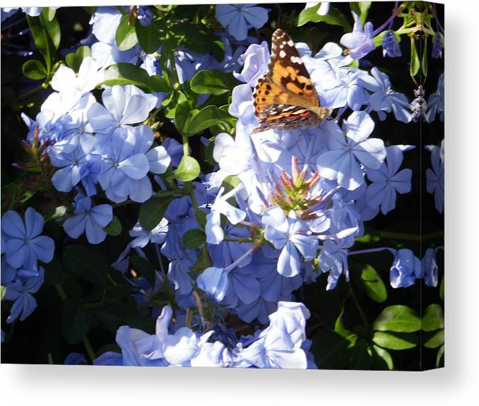 Butterfly Canvas Print featuring the photograph Butterfly IIi by Edward Wolverton