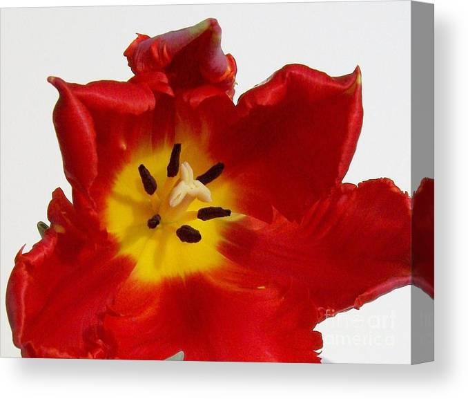 Photo Canvas Print featuring the photograph Center Of Tulip by Marsha Heiken