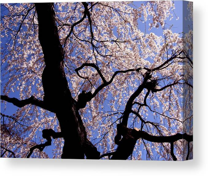Cherry Blossom Canvas Print featuring the photograph Cherry Blossoms by Ariane Moshayedi