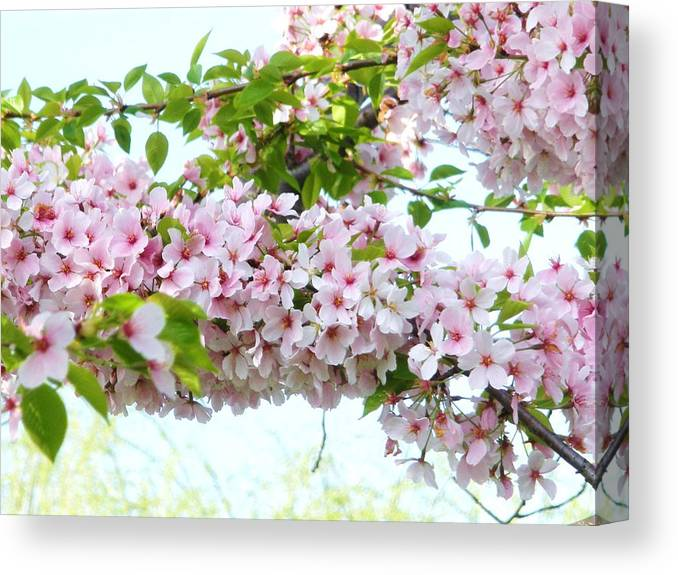 Flowers Canvas Print featuring the photograph Cherry Blossoms by Jeanette Oberholtzer