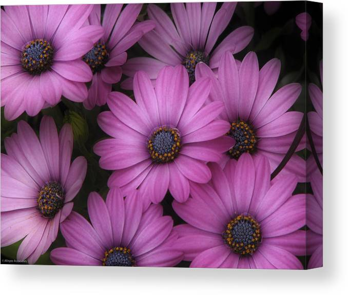Nature Canvas Print featuring the photograph Daisies In Dakota by Ches Black