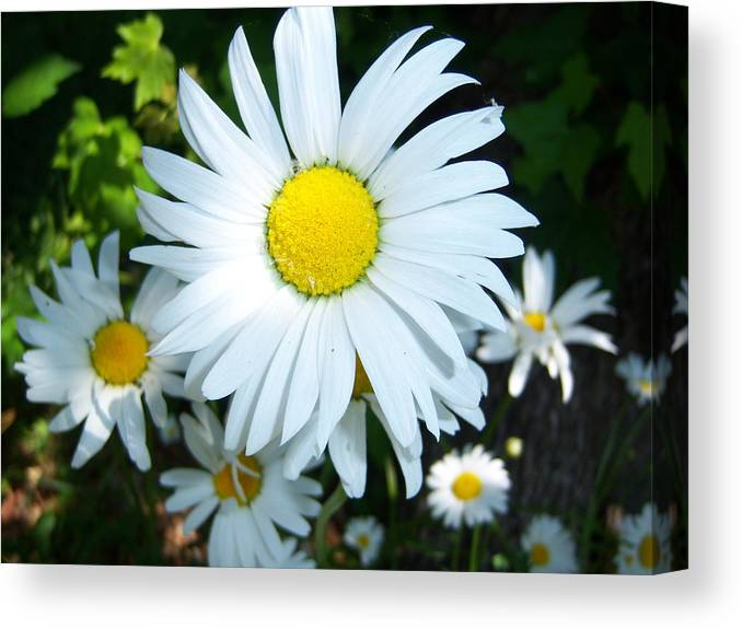 Daisies Canvas Print featuring the photograph Daisies by Ken Day