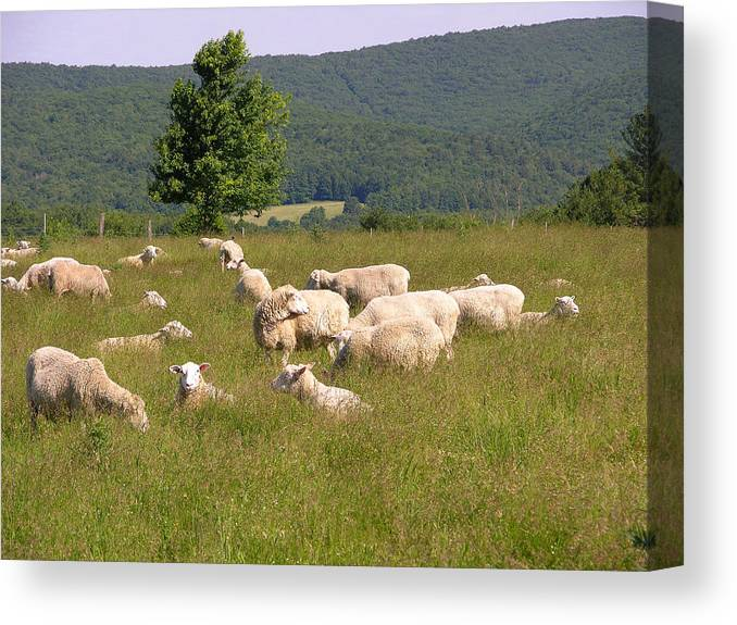 Farms Canvas Print featuring the photograph Ewe's Eye View by Peter Williams