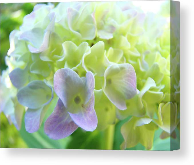 Hydrangea Canvas Print featuring the photograph Fine Art Prints Hydrangeas Floral Nature Garden Baslee Troutman by Baslee Troutman
