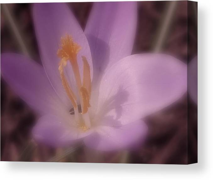 Crocus Canvas Print featuring the photograph First Flower Of Spring by Kenneth Krolikowski