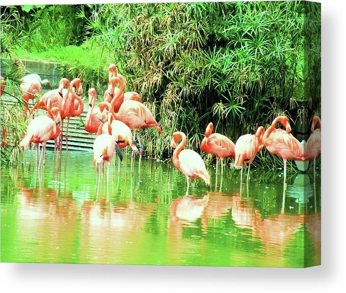 Beautiful Birds The Flamingoes---- Phoenicopterus Canvas Print featuring the photograph Flamingoes by Nereida Slesarchik Cedeno Wilcoxon
