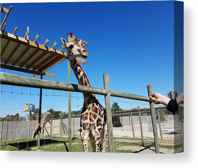 Giraffe Canvas Print featuring the photograph Food For Me? by Stacey Marshall
