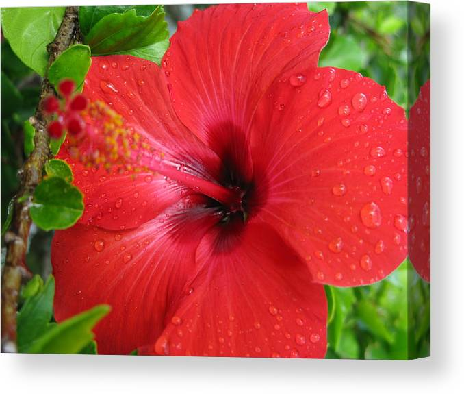 Flower Canvas Print featuring the photograph Full Bloom In Red by John Loyd Rushing