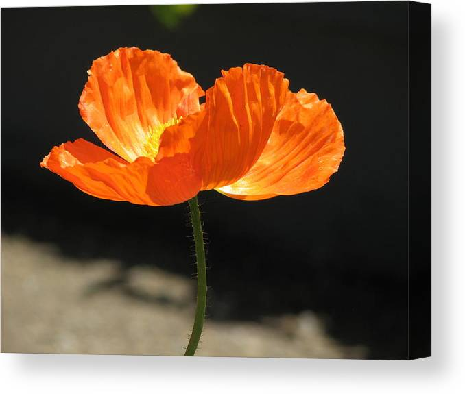 Poppy Canvas Print featuring the photograph Glowing Poppy by Helaine Cummins