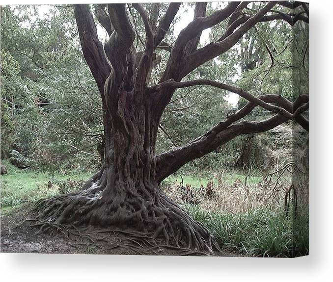 Nature Canvas Print featuring the photograph Gnarled Oak by William Thomas