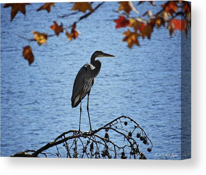 Nature Canvas Print featuring the photograph Great Blue Heron At Shores Of King's Mountain Point by Matt Taylor