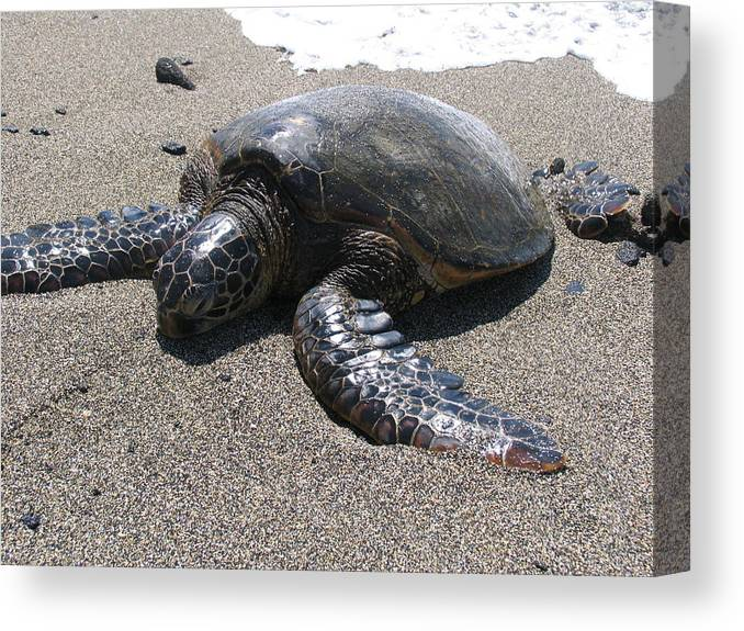 Sea Turtle. Turtle Canvas Print featuring the photograph Hardshell Sun Tan by Arry Murphey