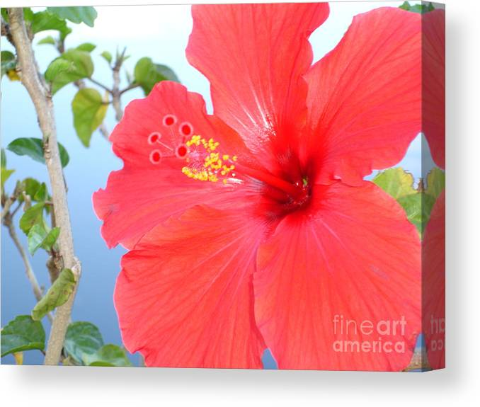 Flower Canvas Print featuring the photograph Hibiscus At Full Bloom by Chad Natti