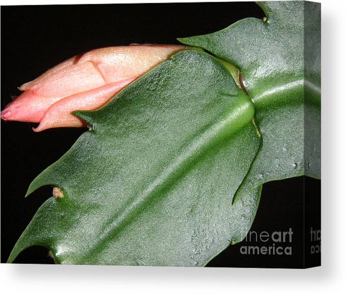 Nature Canvas Print featuring the photograph Holiday Cactus - Budding by Lucyna A M Green