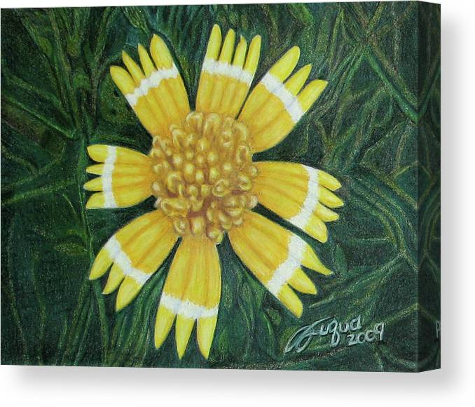 Fuqua - Artwork Canvas Print featuring the drawing Huisache Daisy by Beverly Fuqua