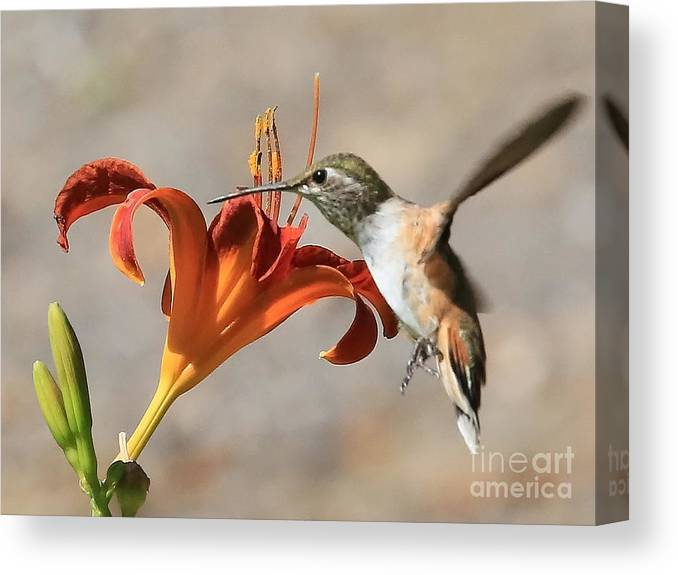 Hummingbird Canvas Print featuring the photograph Hummingbird Whisper by Carol Groenen