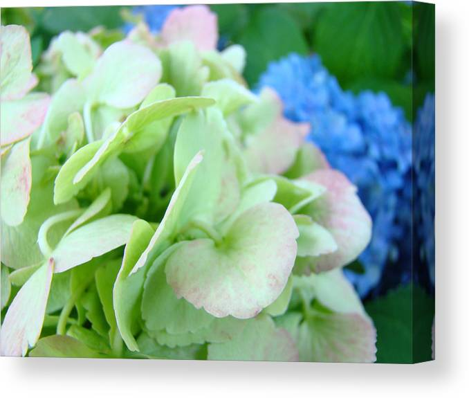 Hydrangea Canvas Print featuring the photograph Hydrangea Flowers Art Prints Floral Gardens Gliclee Baslee Troutman by Baslee Troutman