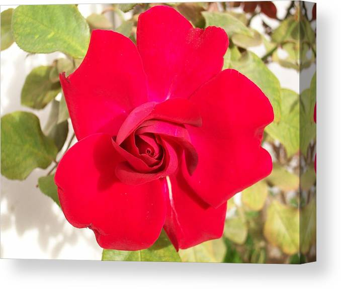 Red Rose Canvas Print featuring the photograph Just Another Rose by Caroline Eve Urbania