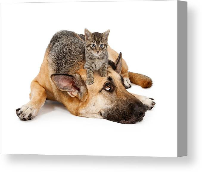 Dog Canvas Print featuring the photograph Kitten Laying On German Shepherd by Susan Schmitz