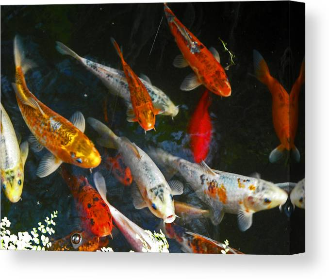 Fish Canvas Print featuring the photograph Koi Fish IIi by Elizabeth Hoskinson