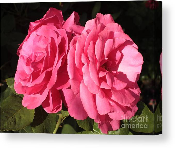 Large Pink Roses Canvas Print featuring the photograph Large Pink Roses by Carol Groenen