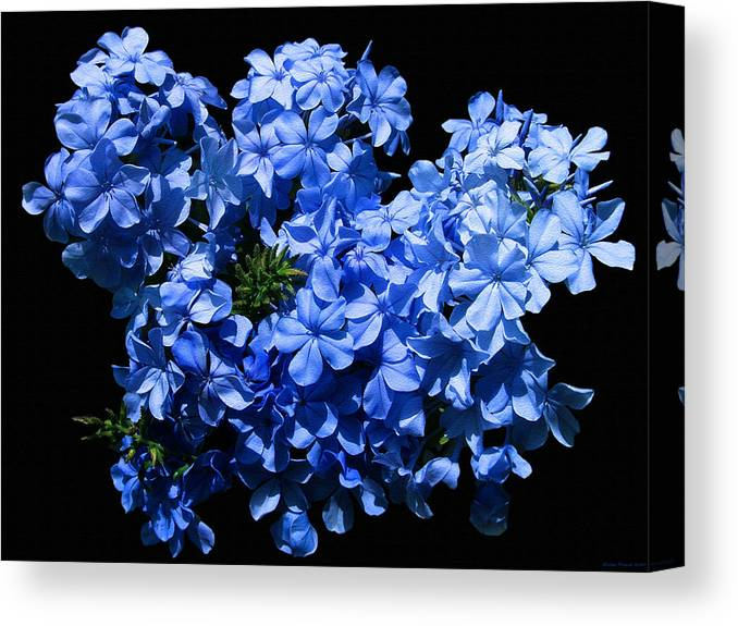 Flower Photography Canvas Print featuring the photograph Lazy Blue Dazes by Evelyn Patrick