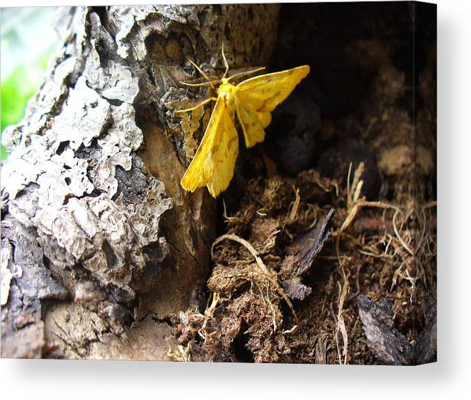 Insect Canvas Print featuring the photograph Little Yellow Moth by Peggy King