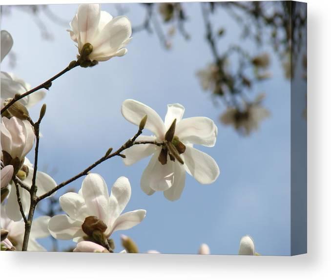 Magnolia Flowers White Magnolia Tree Spring Flowers Artwork Blue Sky