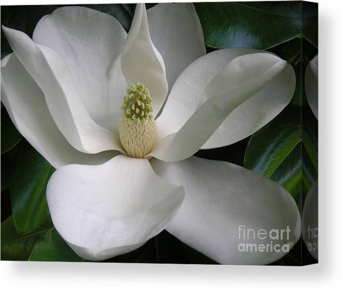 Nature Canvas Print featuring the photograph Magnolia Taking In The Light by Lucyna A M Green