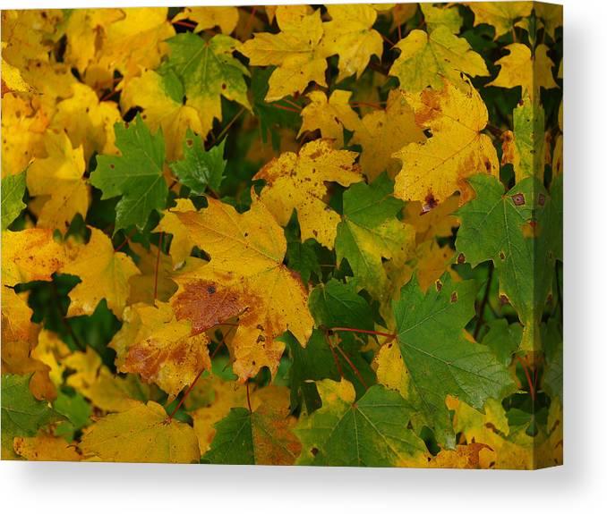 Fall Canvas Print featuring the photograph Mapel Leavs. by Itai Minovitz