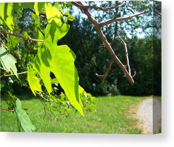 Tree Canvas Print featuring the photograph Maple Rose by Ken Day