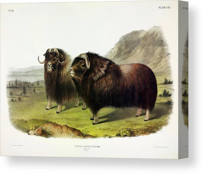 The Muskox Canvas Print featuring the painting Musk Ox by John James Audubon