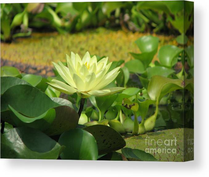 Nature Canvas Print featuring the photograph Nature by Amanda Barcon