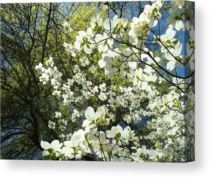 Dogwood Canvas Print featuring the photograph Nature Tree Landscape Art Prints White Dogwood Flowers by Baslee Troutman