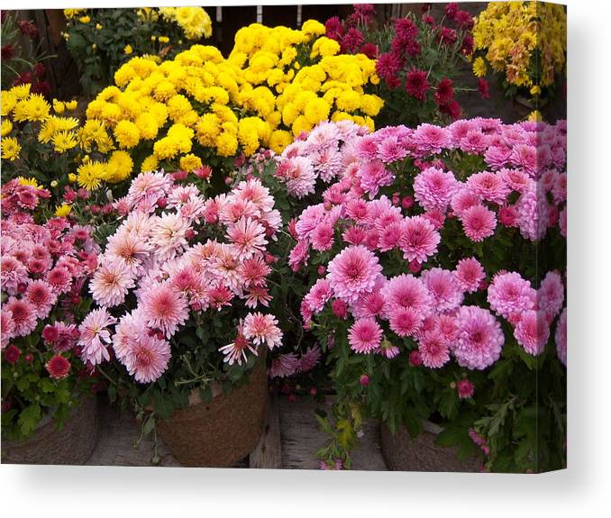 Mums Canvas Print featuring the photograph New Hampshire Mix by Tracy Dugas