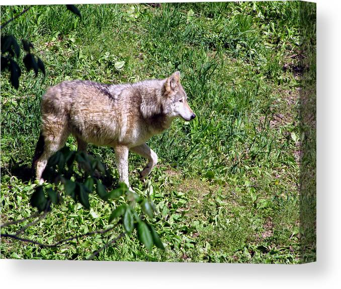 Wolf Canvas Print featuring the photograph On Alert by George Jones