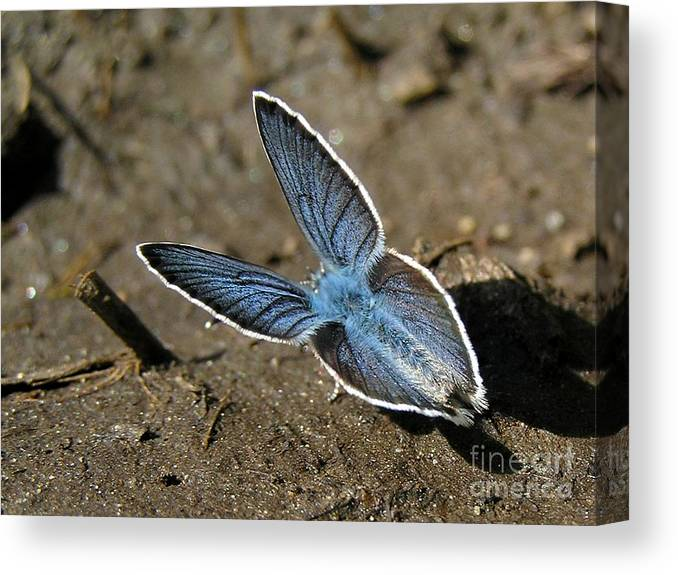 Butterfly Nature Canvas Print featuring the photograph Papillon Bleu by Jean-Michel Ammon