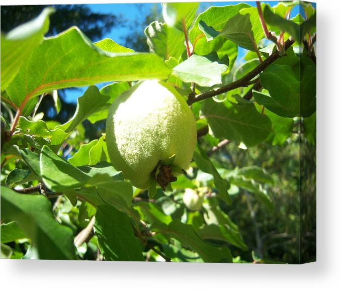 Pear Canvas Print featuring the photograph Pear by Ken Day