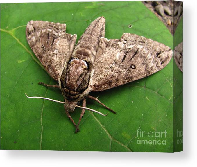 Plebeian Sphinx Moth Images Maryland Moth Prints Old Growth Forest Biodiversity Preservation Wildlife Habitat Conservation Rare Moth Prints Rare Moth Images Nocturnal Creature Images Natures Nightshift Entomology Cool Critter Prints Nature Photography Moth Photography Naturalist Forest Ecology Woodland Wonders Creatures Of The Night Explore Nature Discovery Animal Planet Macro Photography Environmental Science Metamorpheses Natural Design Intelligent Design Lifeform Forest Being Endangered Ecosystem Protection Stop Sprawl Canvas Print featuring the photograph Plebeian Sphinx Moth by Joshua Bales