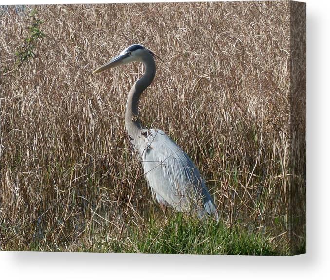 Great Blue Heron Florida Bird Landscape Canvas Print featuring the photograph Posing Heron by Warren Thompson
