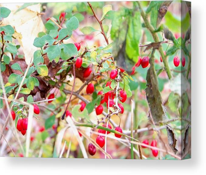 Maine Canvas Print featuring the photograph Red Berry New England by Wendy Holt Castiglione
