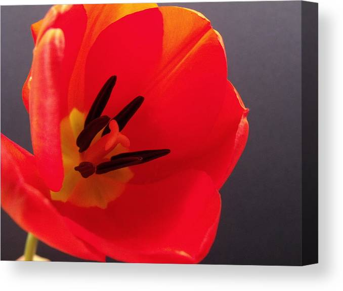 Red Canvas Print featuring the photograph Red Tulip IIi by Anna Villarreal Garbis