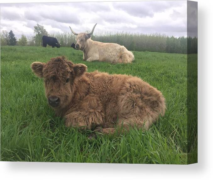 Calf Canvas Print featuring the photograph Scottish Highland Calf by Molly Brown